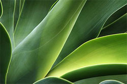 green aloe vera leaves