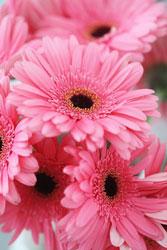 gerbera daisies beautiful gorgeous pretty pink flowers