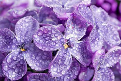 violet lilac flowers with water droplets