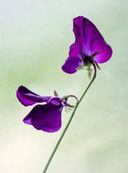 violet sweet pea