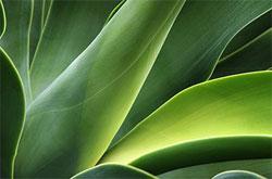 green aloe vera leaves