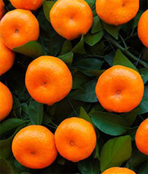 ripe oranges on the trees in an orchard